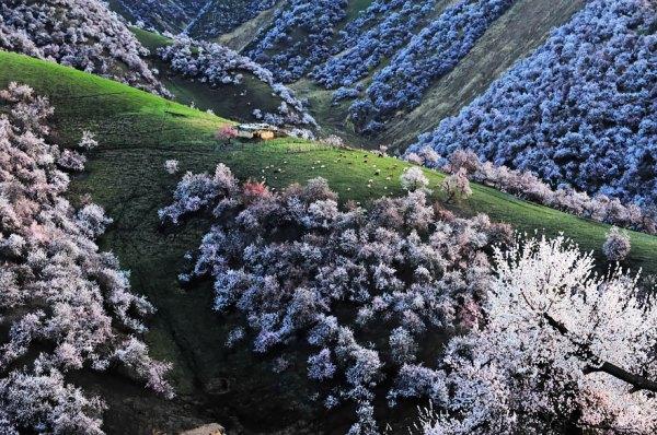 perierga.gr - Η υπέροχη Κοιλάδα με τις Βερικοκιές στην Κίνα!