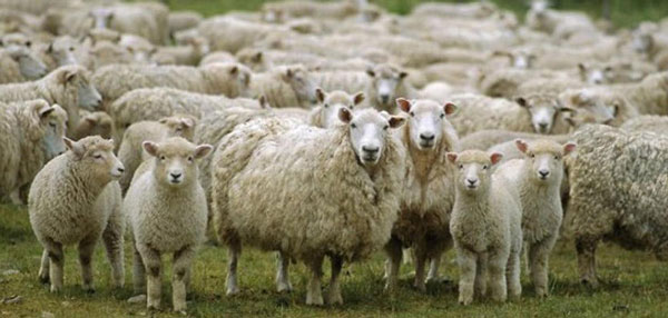 perierga.gr - Πρόβατα έφαγαν ινδική κάνναβη και «γκρέμισαν» ολόκληρο χωριό!