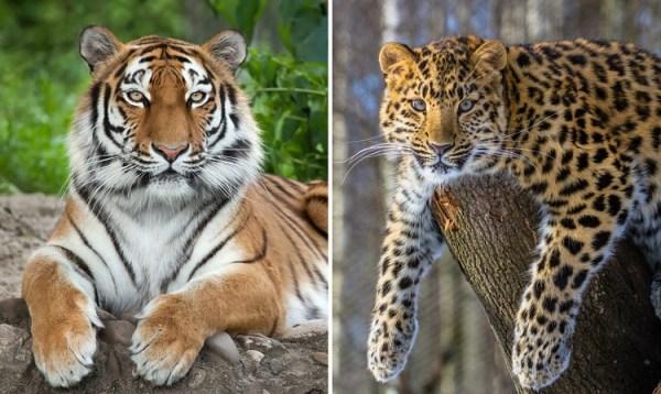 perierga.gr - Η Κίνα ανακοίνωσε τη δημιουργία Εθνικού Πάρκου για να σώσει 2 ζώα προς εξαφάνιση
