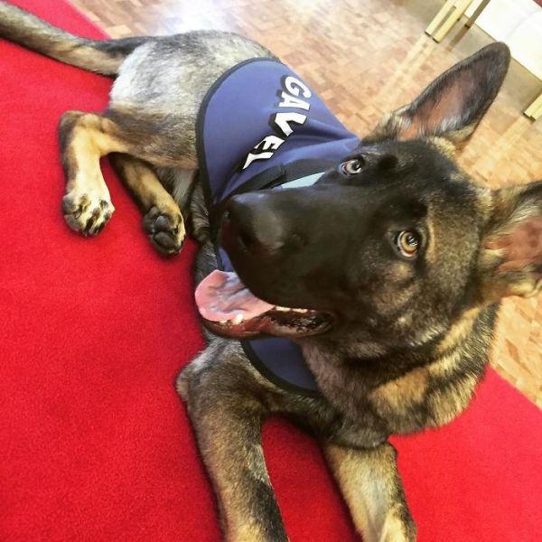 perierga.gr - Αστυνομικός σκύλος απολύθηκε γιατί ήταν πολύ παιχνιδιάρης!