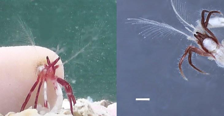 perierga.gr - Ανακαλύφθηκε νέο είδος καβουριού που μεγαλώνει σε κοράλλι!