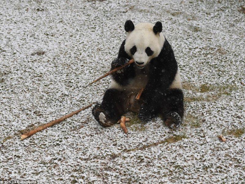 perierga.gr - Γιγάντια πάντα βλέπουν για πρώτη φορά χιόνι και είναι αξιολάτρευτα!