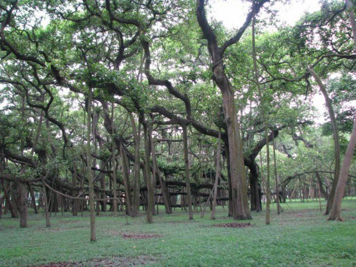Perierga.gr - Το εντυπωσιακό και μεγάλο δέντρο Μπάνιαν της Ινδίας