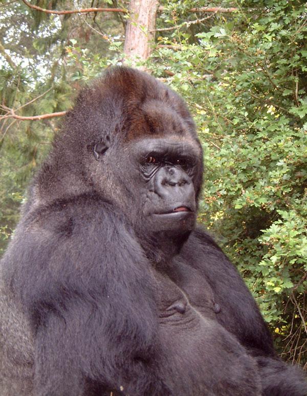 Koko: La gorila que se comunicaba con los humanos