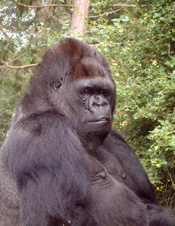 Koko: The gorilla that could communicate with humans