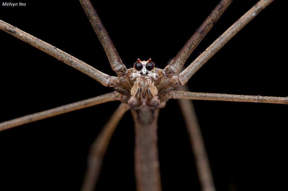 ¿Cómo caza la araña cara de ogro?