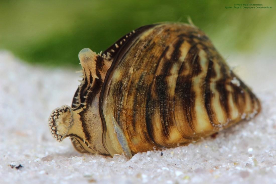 Zebra-mussel-Dreissena-polymorpha-invasive-alien-species-exotic-introduction-pathways-ecosystems-ponto-caspian-bassin