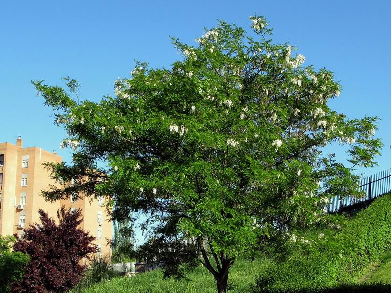 Robinia-pseudoacacia-black-locust-plants-invasive-alien-species-exotic-introduction-pathways-deliberate-gardening-ornamental