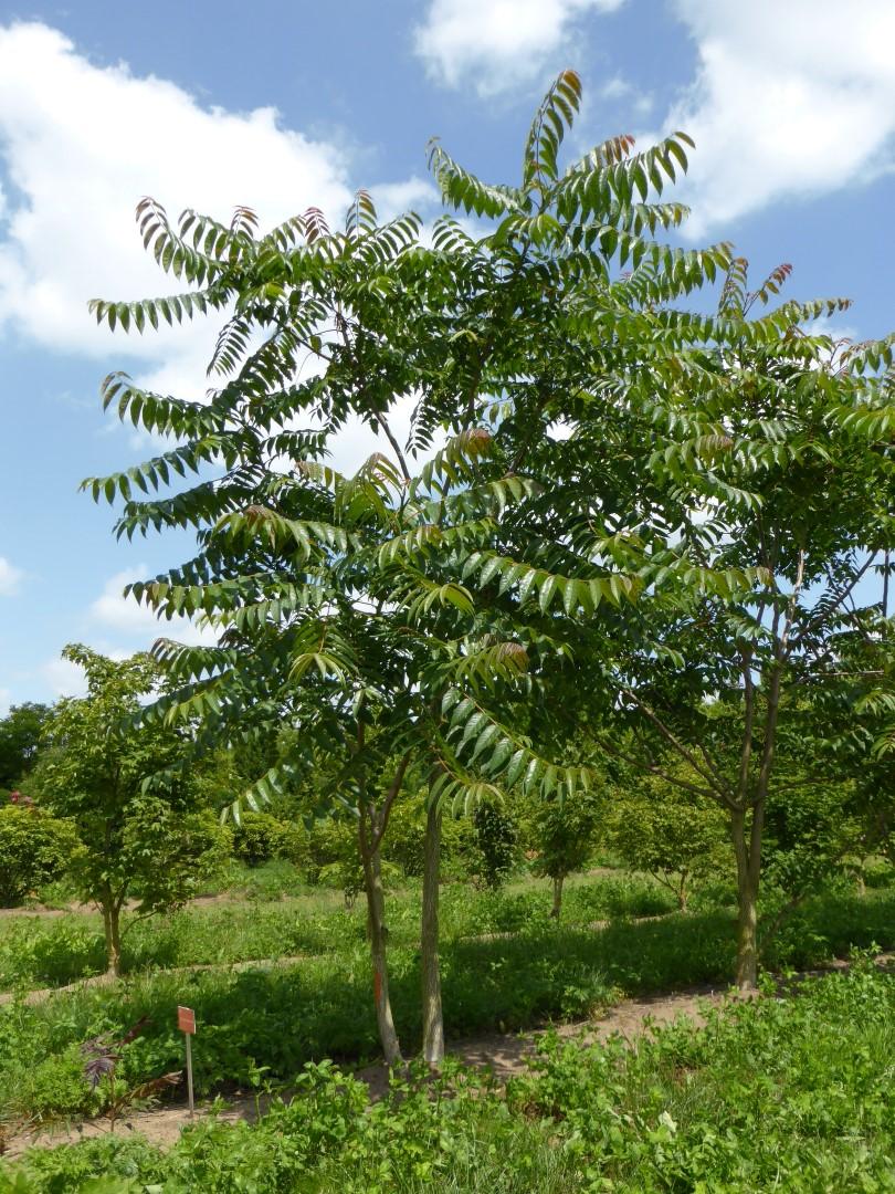 ailanthus_altissima_ailanto-arbol-cielo-China-especies-exoticas-invasoras-plantas-introduccion-deliberada-propagacion-viento-anemocoria