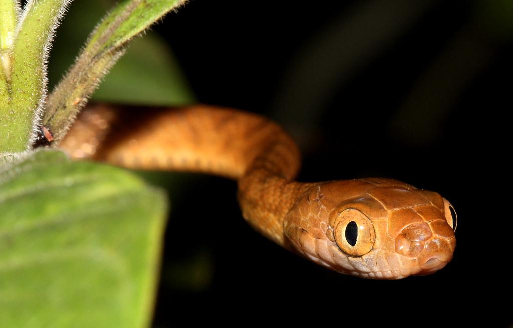 boiga-irregularis-serpiente-arboricola-marron-especies-exoticas-aloctonas-alien-invasoras-vias-introduccion-Guam