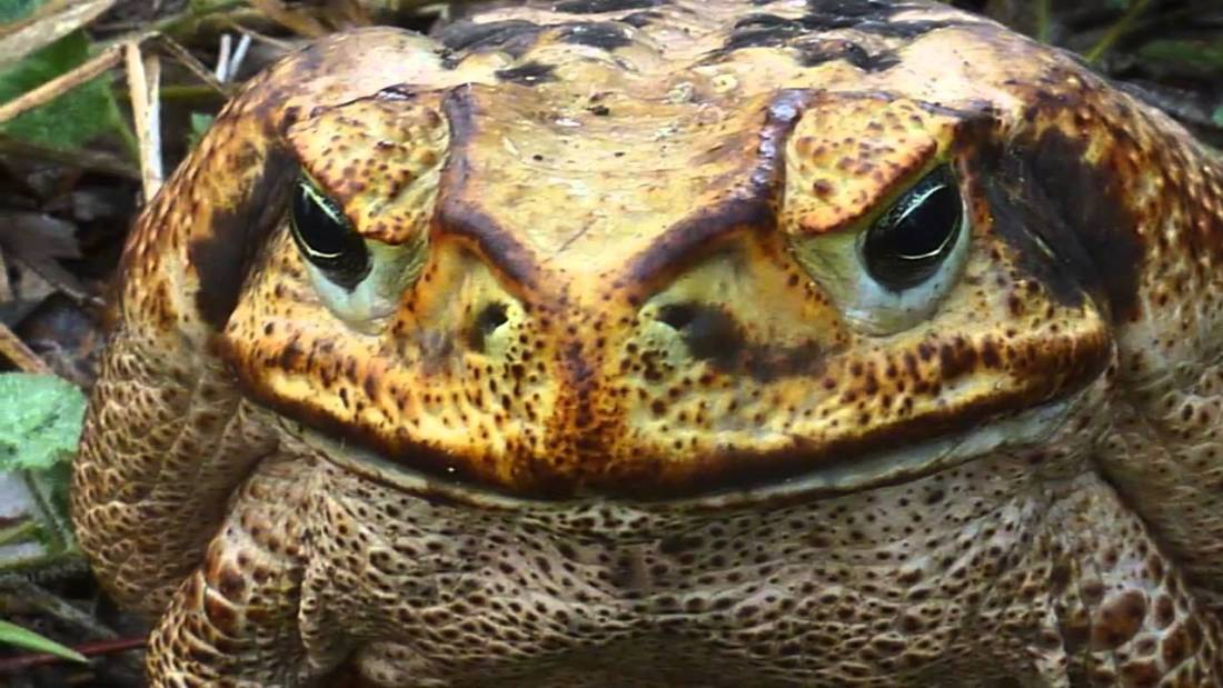 bufo-marinus-toxin-toxic-inmunodeprimidos-lethal-cane-toad-immunodeficient