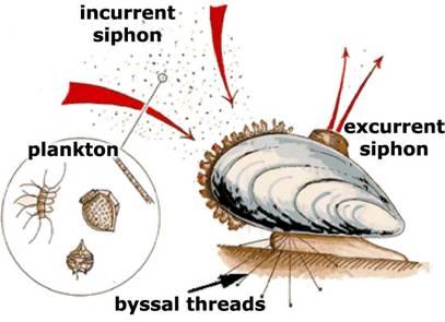 filtration-dreissena-polymorpha-zebra-mussel-negative-impacts-competition-resources-unionidae-population-densities-invasive-species-macrophytes