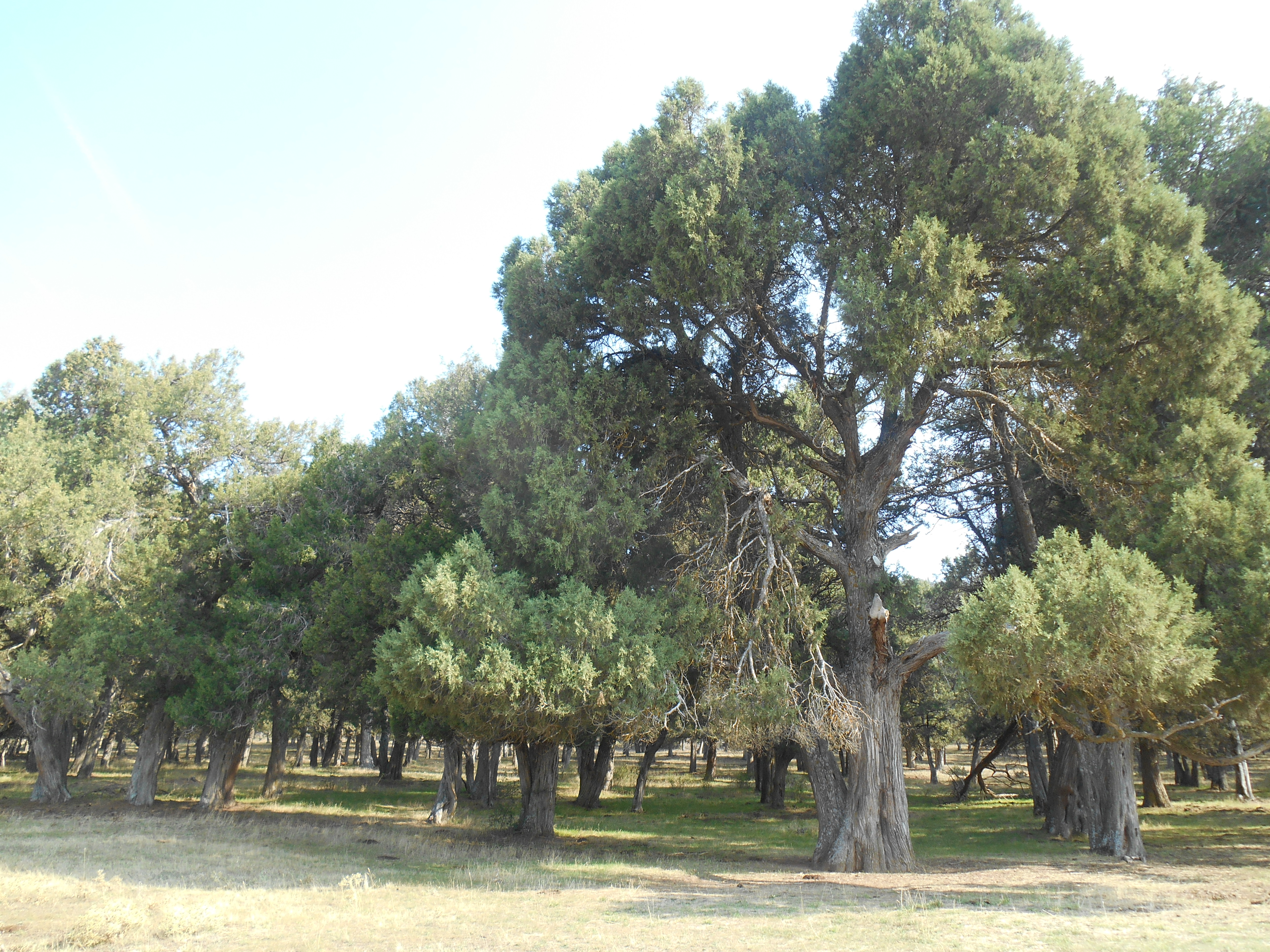 The densest forest of Juniperus thurifera is in Soria
