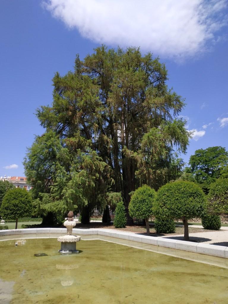 parterre-ahuehuete-cipres-calvo-reservado-madrid-jardines-buen-retiro-parque-historia