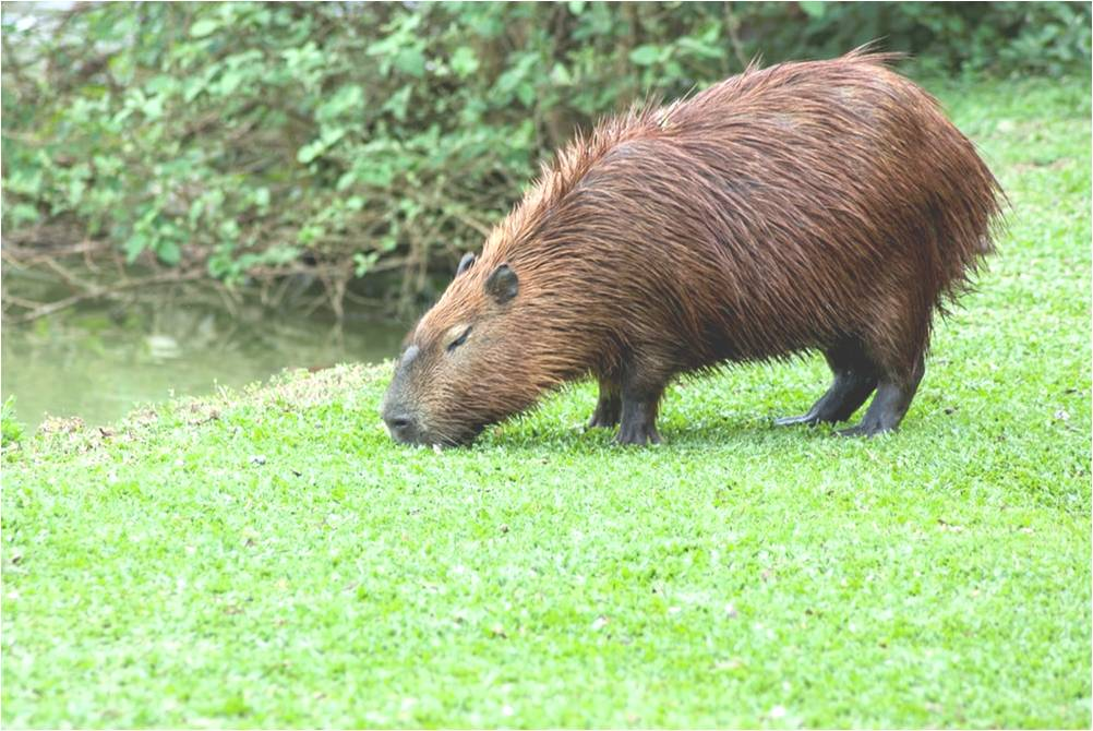 The largest rodent