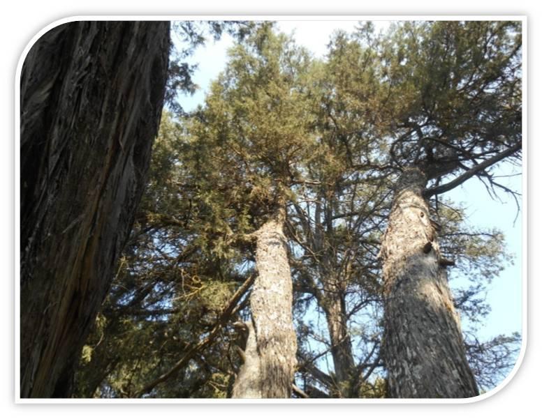 sabina-albar-juniperus-thurifera-romanos-calatañazor-soria-reserva-natural-