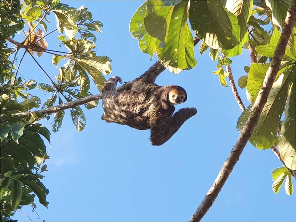 pale-throated-sloth-mammals-animals-biodiversity-bradypus-tridactylus
