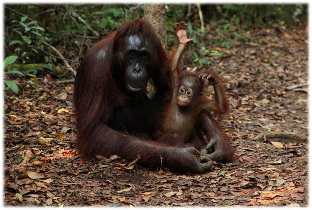 orangutan-orangutanes-primates-simios-embarazo-reproduccion-animales-etologia-comportamiento-crias