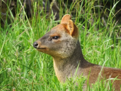 pudu-mephistophiles-puda-northern-deer-animals-zoology-biodiversity