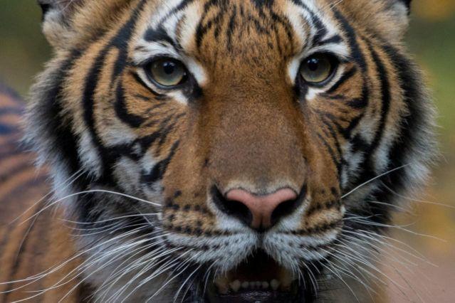 tigresa-nadia-gatos-felinos-contagios-infectados-sintomas-sars-cov-2020-virus-virologial-medicina-china-mers-wuhan-gripe-resfriado
