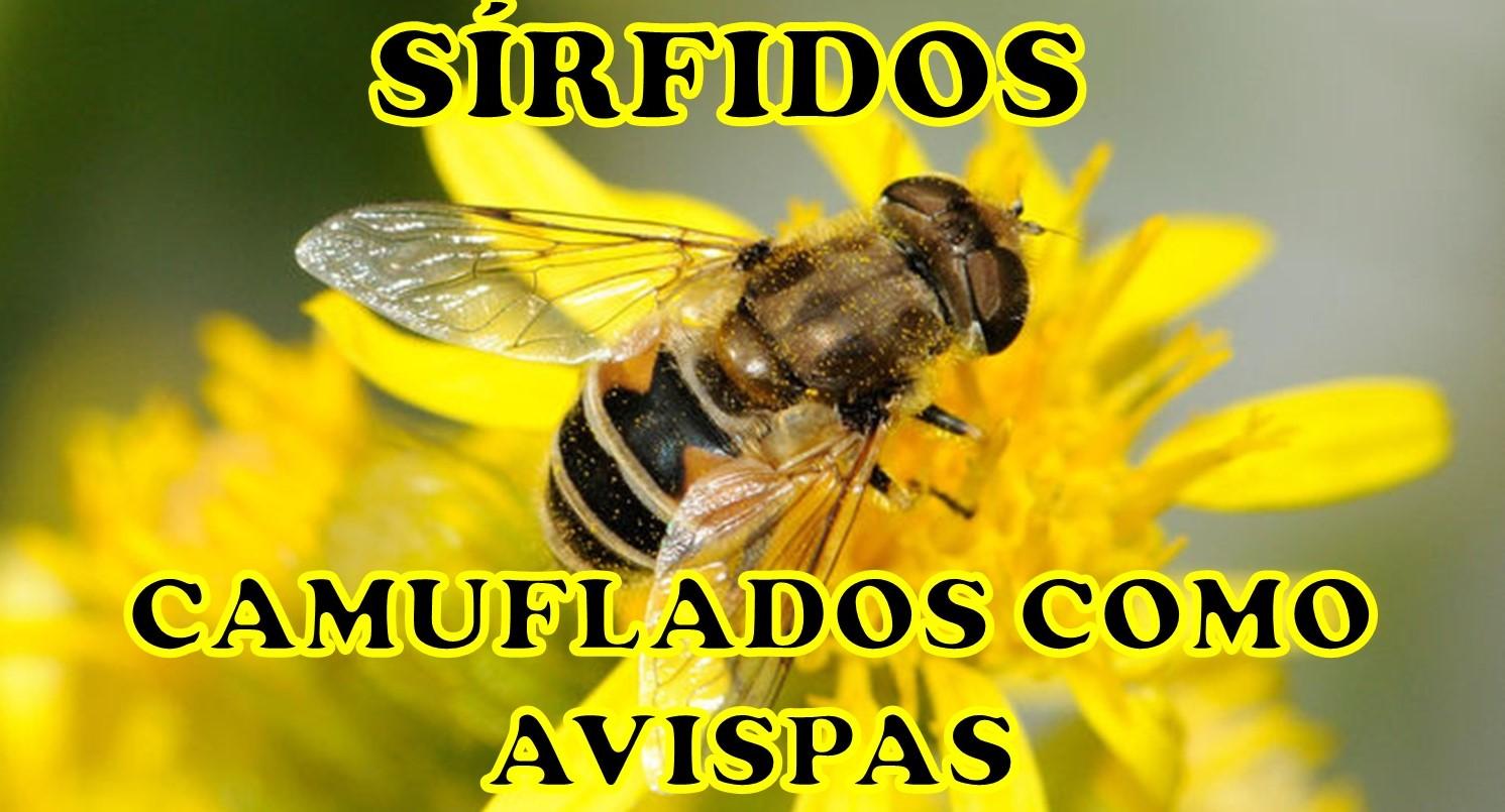 sirfidos-camuflaje-mimetismo batesiano - moscas - avispas