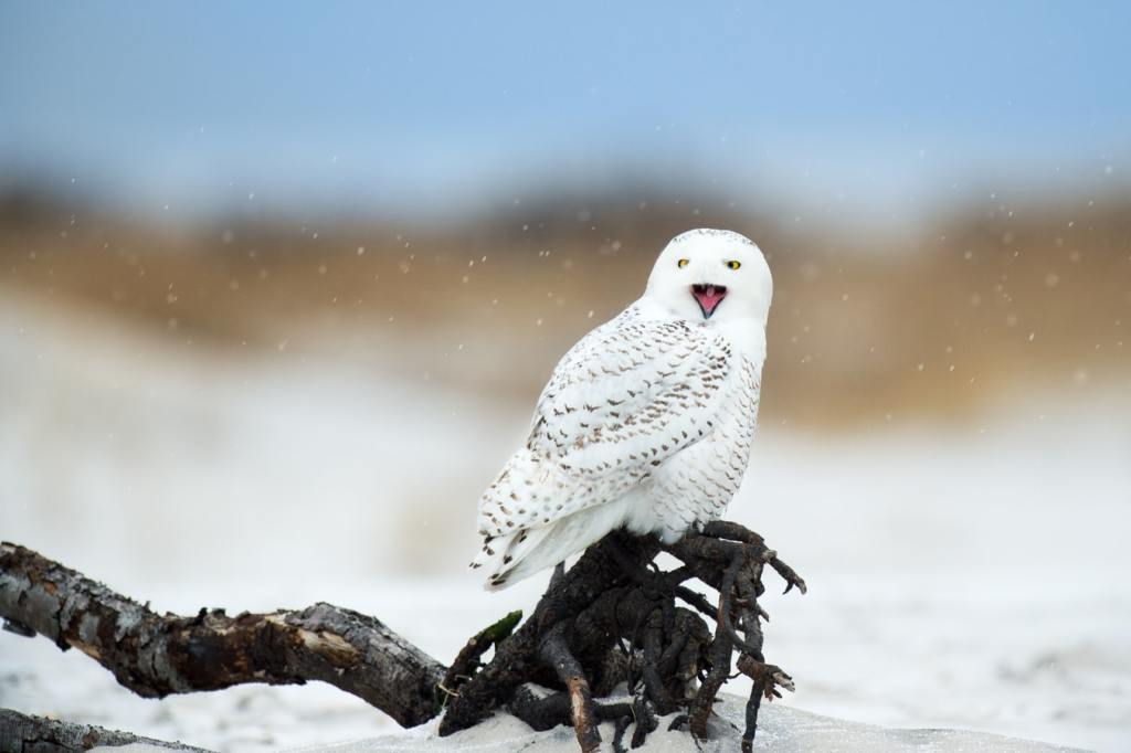 bird-owl-boundary layer-hair-protect-cold-feathers-ptiloerection-piloerection-biology-animals-snow-arctic