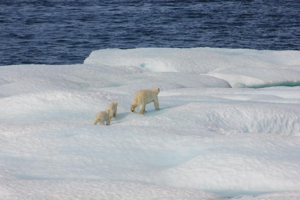 polar bear-boundary layer-hair-protect-cold-feathers-ptiloerection-piloerection-biology-animals-snow-arctic