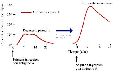 anticuerpos-linfocitos B-linfocitos T-sistema inmune adaptativo-respuesta especifica