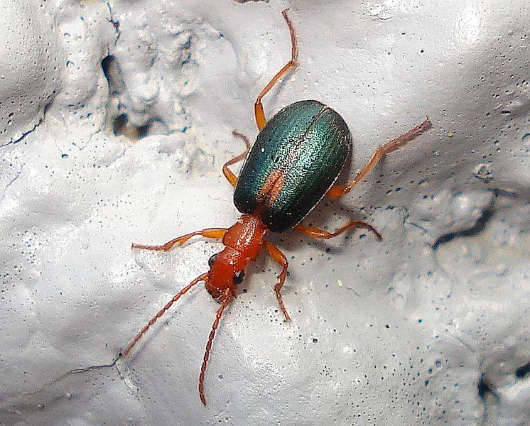 escarabajo escopetero - zoologia - brachinus - escarabajo - insecto - escarabajo bombardero - reaccion quimica - quimica - disparo irritante - biodiversidad - naturaleza