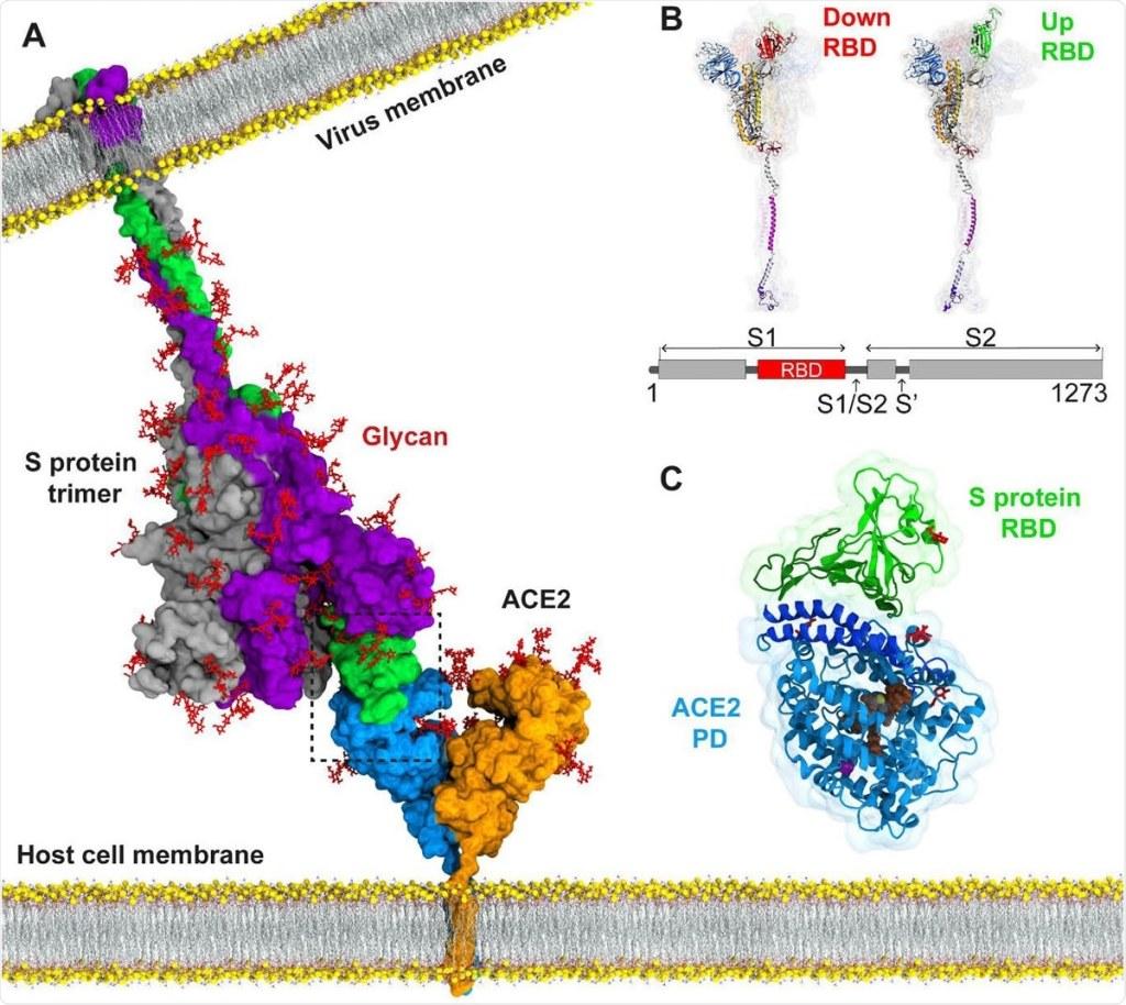 receptor ACE2-sars cov 2-vacuna de arnm - arnm-arn mensajero-infertilidad-esterilidad