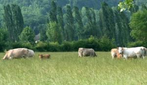les vaches en train de paître