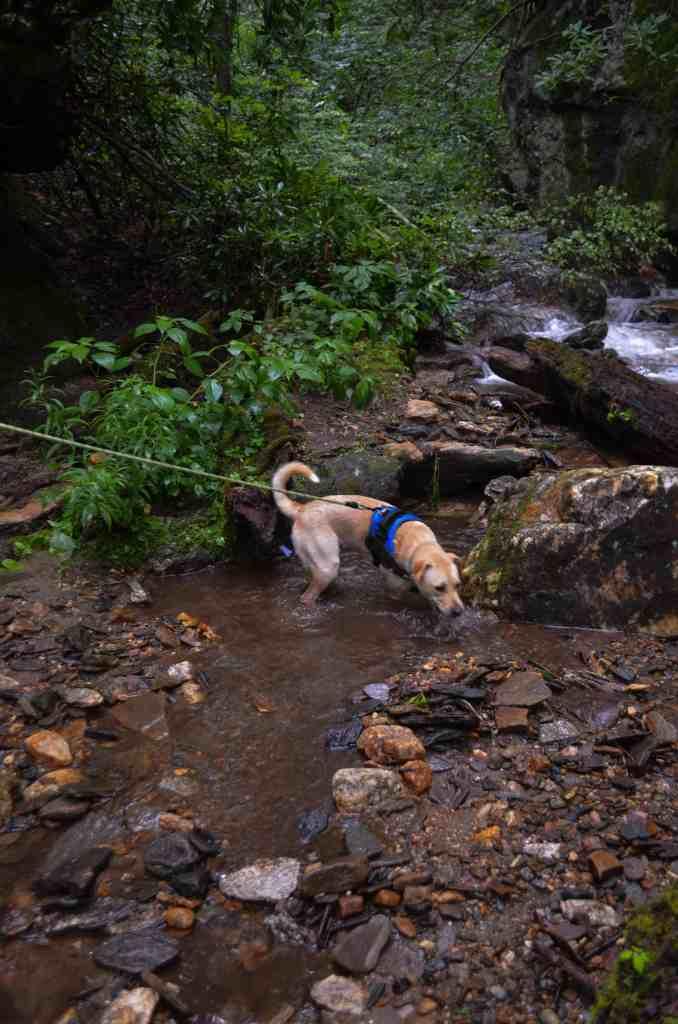dog exploring a stream