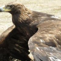 Zacatecas, estado pionero en Investigación y Conservación del Águila Real