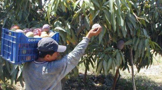 OPSE 2005FEB13 PERU PIURA MANGOS EXPORTACION AGRICULTURA CAMPOS DE CULTIVO CREDITO JOHNNY OBREGON EL COMERCIO PERU 2005FEB13 AFD