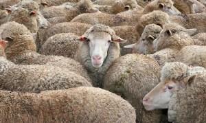 """""""Misteriosa criatura"""" se alimenta de ovejas"""