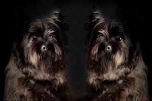 La primera empresa china de clonación de mascotas duplica a un famoso perro actor