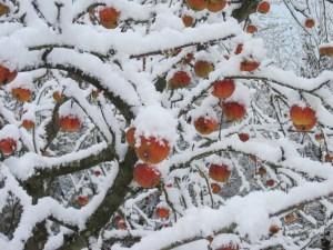 """""""Huerto de frío"""": Aparecen """"manzanas fantasma"""" en Míchigan tras una lluvia helada"""
