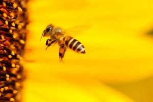 Si desaparecen las abejas tú también lo harás