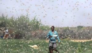 Una plaga de langostas de dimensiones bíblicas en Somalia es la peor invasión en 25 años
