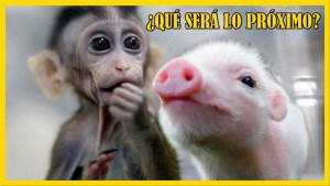 Crean una quimera de mono y cerdo en China creando polémica mundial