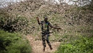 Gigantes enjambres de langostas devoradoras no vistos en décadas golpearán África oriental, Oriente Medio y el suroeste de Asia