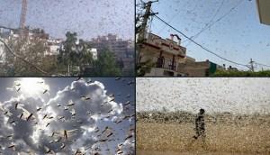 El peor ataque de langostas en 26 años en India
