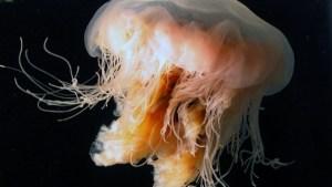Las autoridades de EE.UU. advierten sobre la presencia de medusas gigantes en las costas de Massachusetts