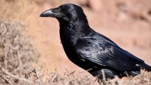 Los cuervos son tan inteligentes como los chimpancés, revela un estudio