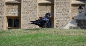 Desaparece uno de los cuervos de la Torre de Londres: ¿mal augurio para el Reino Unido?