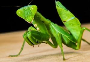 """""""Sintió muchísimo miedo"""" – La experiencia con seres mantis en el bosque Warwick"""