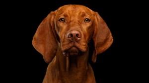 Los perros son capaces de distinguir cuando los humanos les mienten y desobedecer en tal caso