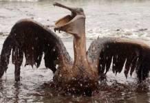 Aves afectadas por la BP en el Golfo de México