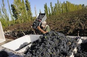 Cosecha de uva Cabernet-Sauvignon en San Juan, Argentina