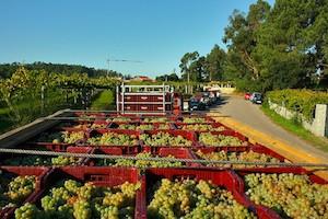 Fila de tractores con uva aguardando para entrar en Martín Códax